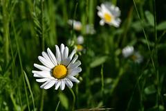 Beaut et simplicit (Diegojack) Tags: fleurs plante nikon parc printemps ouchy denantou nikonpassion d7200