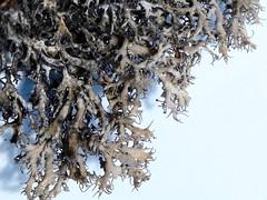 Anaptychia ciliaris (aburgh) Tags: sweden lichens drystonewall cilia land foliose resmo anaptychia lichenherbarium