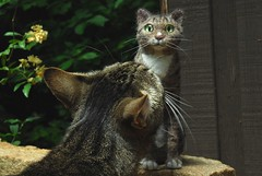 Gali vs. Catzilla (rootcrop54) Tags: sculpture art wool felted cat miniature handmade ooak tabby needle needlefelting gali needlefelted