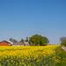 Yellow+field