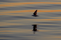 Late night flight (Ib Aarmo) Tags: sunset sea reflection nature water colors reflections fly flying outdoor seagull gull