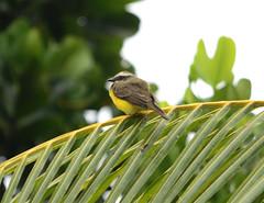 Mosquero social, Social flycatcher, Myiozetetes similis. Trapito, San Martn, Peru (Jaime Chang) Tags: peru socialflycatcher myiozetetessimilis sanmartin tarapoto mosquerosocial