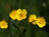 Buttercups 026 (saxonfenken) Tags: 6708flowers 6708 buttercups wildflower yellow pregamewinner perpetual gamewinner thumbsup friendlychallenges