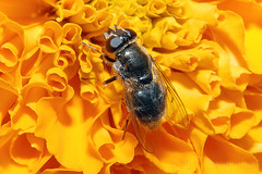 Cheilosia hoverfly (12 mm.) on Tagetes (Zeldenrust) Tags: flower fleur animal fauna insect flora flor blume dier tier hoverfly insecte tagetes bloem naturephotography faune gitje animalito tierchen zweefvlieg bichito bte natuurfotografie afrikaantje insectsonflowers zeldenrust stinkertje cheilosiahoverfly vanzeldenrust hendrikvanzeldenrust