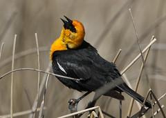 Yellow-headed Blackbird (rivadock4) Tags: yellow colorado singing fort wildlife garland fortgarland national calling refuge alamosa yellowheaded balckbird alamosanationalwildliferefuge yellowheadedbalckbird