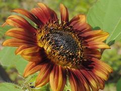 Sunflower (beckyj351) Tags: autumn flower color sunflower fullbloom