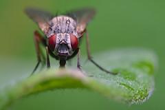 DSCF7128 (faki_) Tags: insect fly fuji fujifilm 24 60 250 dcr rovar xe1 raynoxdcr250 lgy fujinonxf60mmf24rmacro