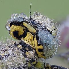 Keiljungfer (pen3.de) Tags: omd em10ii zuiko 60mmmakro wildlife natur naturlicht libelle libellenportt morgentau tautropfen details