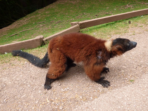 south lakes zoo - red ruffed lemur