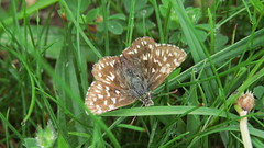 Grizzled skipper butterfly (hedgehoggarden1) Tags: uk nature grass canon butterfly outdoors wildlife lepidoptera dorset cerneabbas grizzledskipper pyrgusmalvae gianthill canonpowershotsx50hs