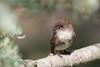 EasternPhoebe_53F5315 (~ Michaela Sagatova ~) Tags: easternphoebe flycatcher birdphotography michaelasagatova