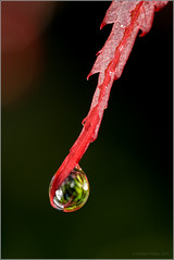 Red on Dark (mikeyp2000) Tags: plant macro water rain leaf sony extreme drop droplet tamron 90mm raindrow a77ii ilca77m2