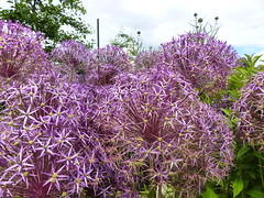 Alium  P1020958 (LesD's pics) Tags: flowers blossom blooms alium clumberpark