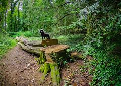 Patsy, Lord of all she surveys - LR6-6190478-web (David Norfolk) Tags: westonbirt england unitedkingdom gb olympus fisheye dog poodle