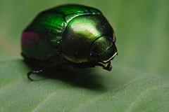 DSCF8167 (faki_) Tags: insect fuji beetle fujifilm 24 60 250 dcr rovar bogr xe1 raynoxdcr250 fujinonxf60mmf24rmacro