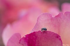 Charançon (Bruno. Thomé) Tags: pentaxk1 smcdfa100mmf28macrowr charançon insecte macro nature rose france indreetloire chinon