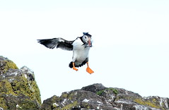 Puffins (1 of 4) (Explored 240616) (Steviethewaspwhisperer) Tags: bird birds puffin puffins isleofmay