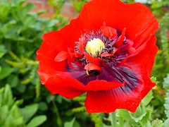 Bee in Poppy  P1020931 (LesD's pics) Tags: flowers blossom poppy blooms