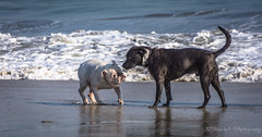 Bulldog trying to make friends at the Beach. (Ricardo H Photography) Tags: labrador bulldog longbeach dogbeach dogphotography rosiesbeach