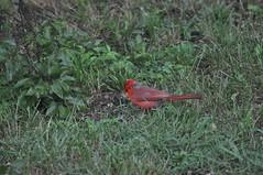 DSC_0047 (Gary Storts) Tags: cardinal gynandromorph gynadromorph orninthology birdwatching birds cardinalis northerncardinal cardinaliscardinalis