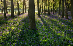 Dockey Wood Bluebells at Dawn (Alan MacKenzie) Tags: trees bluebells woodland landscape dawn spring shadows unitedkingdom buckinghamshire backlit nationaltrust ashridge dockey