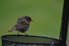 Robin (curly_em) Tags: red bird nature wet robin garden feeding wildlife feathers fluffy feeder
