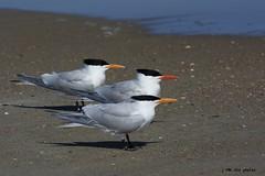 The Royal Tern Trio ~ Royal Terns ~ Thalasseus maximus ~ Southern Outer Banks, North Carolina (j van cise photos) Tags: royalterns thalasseusmaximus northcarolina bird flock