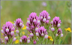 Lovely Owl's Clover (tdlucas5000) Tags: flowers macro closeup bokeh magenta wildflowers bouquet clover owls goldfields