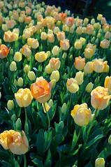 Laleler - Tulips / İstanbul Tulip Festival (ispençiyar) Tags: white flower festival bride tulips istanbul tulip yellowish lale emirgan