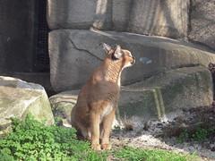 LE CARACAL (marsupilami92) Tags: paris france zoo frankreich ledefrance capitale 75 caracal menagerie jardindesplantes 5emearrondissement