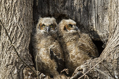A New Generation (m.gregory91) Tags: nest great owl horned