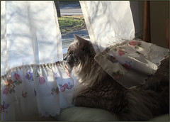 Bella's Window of Opportunity (Photographic Poetry) Tags: pet cats bird window spring bella mitzi birdwatching ragdoll familypet windowofopportunity