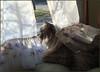 Bella's Window of Opportunity (Photographic Poetry) Tags: pet cats bird window spring bella mitzi birdwatching ragdoll familypet windowofopportunity