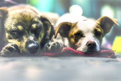 My Turn Of Wakefulness (Bouquet of arts) Tags: dogs twodogs babydogs sleepydogs