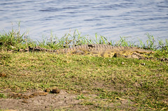 Temperature Regulation (wenzday01) Tags: park morning travel nature animal nationalpark nikon wildlife sigma safari crocodile botswana chobe kasane gamedrive chobenationalpark d7000 chobechilwero nikond7000 sanctuaryretreats 120400mmf4556afapodgoshsm