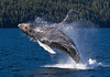 Humpback Breach (Max Waugh Photography) Tags: playing canada nature topf25 water animal swimming mammal big jumping britishcolumbia wildlife communication backwards pacificnorthwest northamerica playful humpbackwhale leaping breaching megapteranovaeangliae cetacean communicating greatbearrainforest
