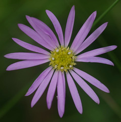 Brachyscome microcarpa, Thunderbolts Lookout, Barrington Tops National Park, NSW, 07/02/15 (Russell Cumming) Tags: plant newsouthwales asteraceae muswellbrook brachyscome barringtontopsnationalpark thunderboltslookout brachyscomemicrocarpa