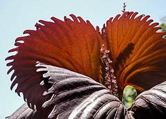 C2721-Hoja mariposa (Eduardo Arias Rbanos) Tags: plants hoja leave sex backlight contraluz plantas sexo cielo composiciones eduardoarias eduardoariasrbanos