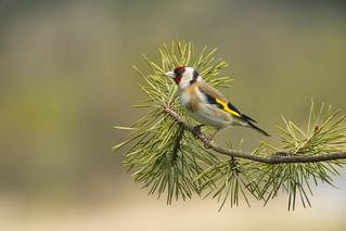 Goldfinch ~ Explored