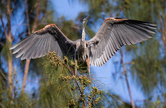 05-11-15-000015434.jpg (Lake Worth) Tags: bird nature birds animal animals canon wings florida wildlife feathers wetlands everglades waterbirds southflorida 2xextender sigma120300f28dgoshsmsports