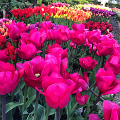 Tulip Festival (Håkan Dahlström) Tags: park flowers red flower photography se skåne sweden tulip f22 uncropped malmö iphone 2015 slottsparken slottsträdgården tulpan skånelän gamlastaden iphonephoto ¹⁄₆₀sek iphone6 iphone6backcamera415mmf22 806052015182608