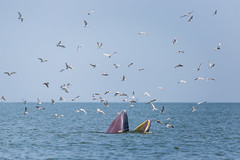 Bryde's whale (K. Apisak) Tags: sea fish bird animal thailand fly flying big eat whale brydes bangtaboon