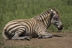 a newbie at Cypress Springs Ranch (Pejasar) Tags: cute beautiful animal mammal texas stripes young zebra resting babyanimal cypressspringsranch