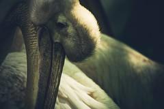 Plican  l'ombre (dono heneman) Tags: light shadow france bird nature animal animals zoo pentax lumire pelican ombre animaux oiseau animalia oiseaux savage sauvage plican zoologie paysdelaloire loireatlantique portsaintpre pentaxart pentaxk3