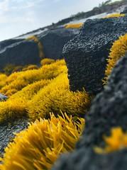 Softy (Vness Lane) Tags: sea black yellow wall hawaii lava seawall bigisland miss kona hdr kailuakona hawaiiisland beachwall blacklava oldkonaairport beaby yellowmiss lavaseawall