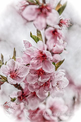 Scent of Spring  IMG-2309 (Photographer / Artist) Tags: usa macro nature spring co crawford plumtrees