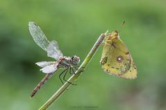 Meeting (jrosvic) Tags: macro butterfly nikon dragonfly libelula mariposa cartagena sympetrumfonscolombii coliascrocea odonato