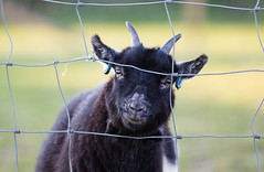 Fenced In (Ed Swift) Tags: fauna canon fence scotland wire horns goat 7d2 70200mmf28lisii