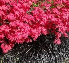 New leaves of Japanese maple Acer palmatum var coreanum with black mondo grass Ophiopogon planiscapus nigrescens (Kniphofia) Tags: pink black maple acer thorpperrow ophiopogon