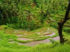 the rice terraces of Bali (SM Tham) Tags: bali tree water reflections palms indonesia landscape outdoors island asia hills valley paddyfields riceterraces coconuttrees contours tegalalang